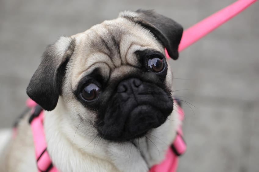 Pies w różowych szelkach oraz porady, jak założyć szelki dla psa lub uprząż dla psa