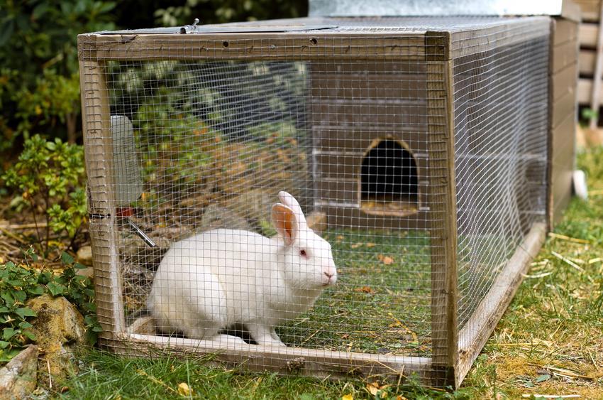 Królik w klatce na wybiegu na podwórku, a także domek dla królika do klatki