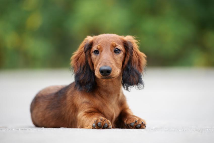 Pies rasy jamnik siedzący na drodze podczas spaceru, a także informacje, ile żyją jamniki i co warto o nich wiedzieć
