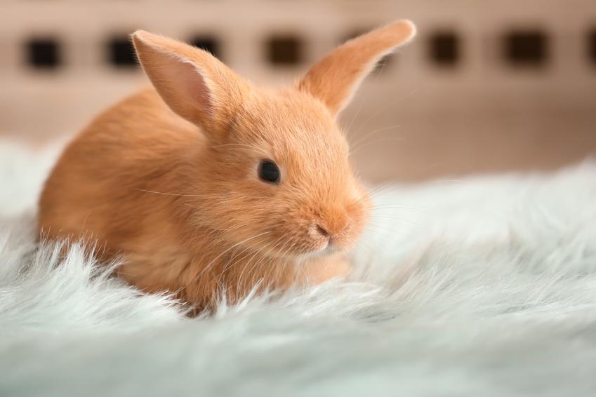 Rudy królik siedzący na dywanie w domu, a także transporter dla królika i polecane transportery