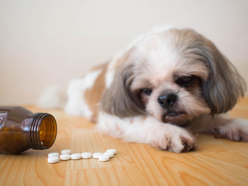 Pies leżący przy tabletkach, a także robaki u psa i ich objawy oraz tabletki na odrobaczanie psa