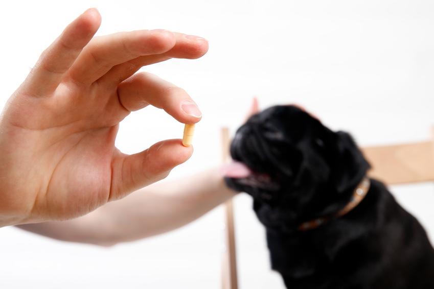 Pies patrzący na tabletkę w dłoni właściciela, a także robaki u psa i robaki u psa i odrobaczanie psa