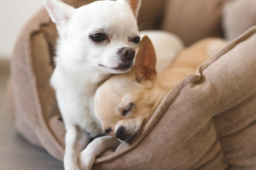 Chiwawa i dwa psy ras chihuahua przytulone w legowisku, a także charakter rasy
