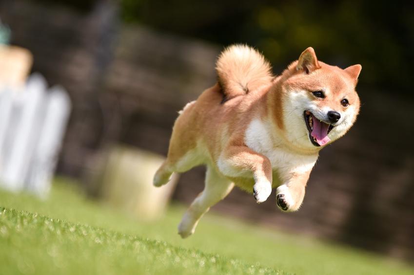 Pies rasy shiba inu biegający po trawie podczas spaceru, a także polecana hodowla shiba inu w Polsce