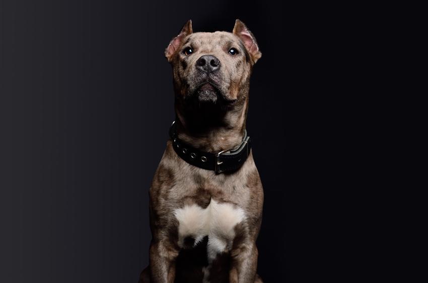 Pies rasy pitbull na czarnym tle, a także cena psa pitbulla i jego usposobienie