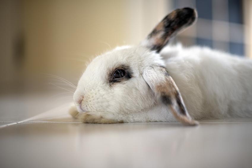 Królik leżący na podłodze, a także popularne choroby królików, ich objawy i leczenie