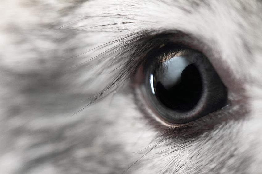 Zbliżenie na oko królika, a także choroby oczu a także inne popularne choroby królików, ich objawy i leczenie