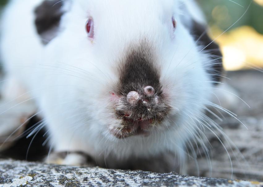 Myksomatoza u królików, a także inne popularne choroby królików, ich objawy i leczenie