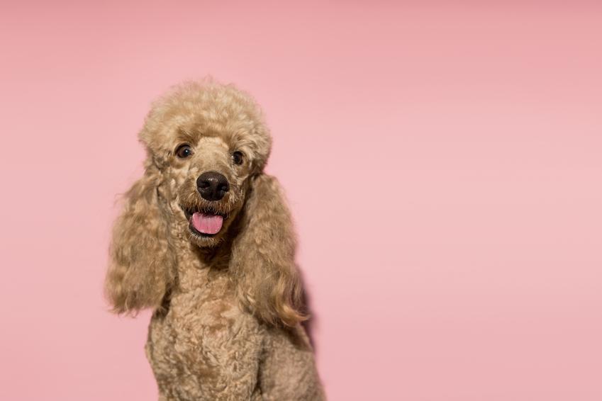 Pies rasy pudel średni na różowym tle, a także pudle średnie i ich charakter