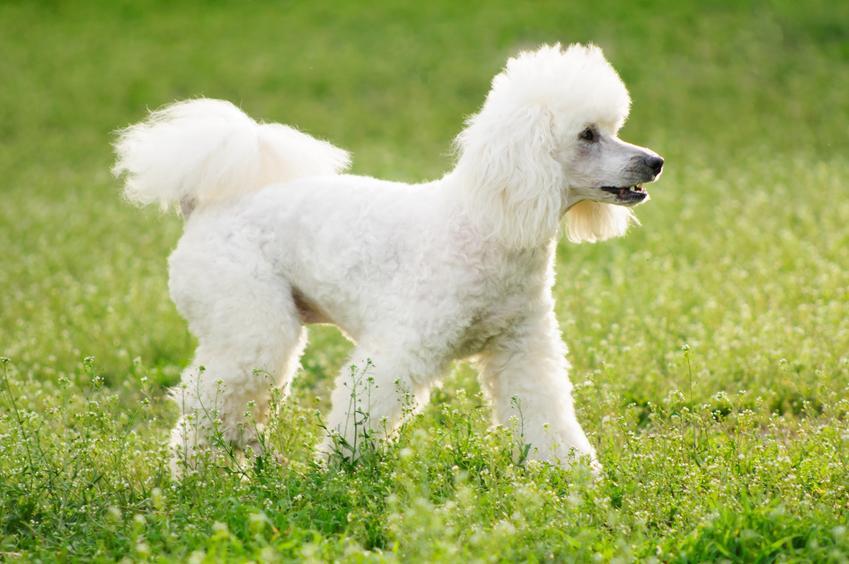 Pies rasy pudel średni podczas spaceru po trawie, a także pudle średnie i ich charakter