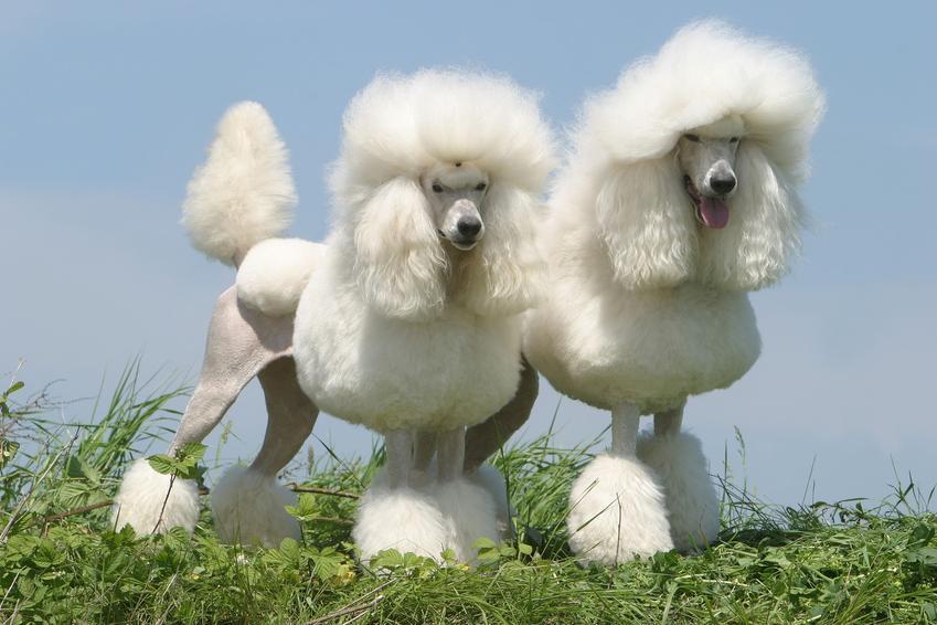 Dwa psy rasy pudel królewski podczas spaceru, a także charaker i usposobienie rasy