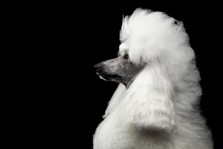 Pies rasy pudel królewski, a także jego charakter, usposobienie i cena