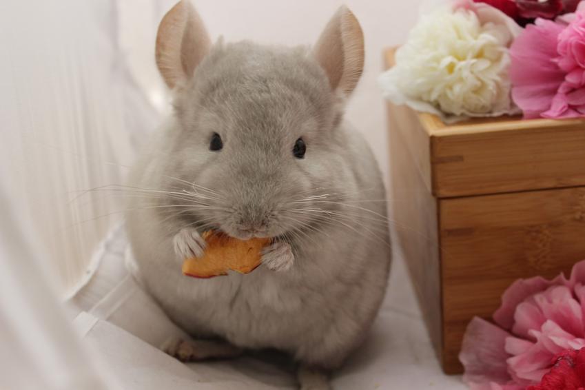 Szynszyl jedzący marchewkę, a także informacje, co jedzą szynszyle, a czego nie mogą jeść