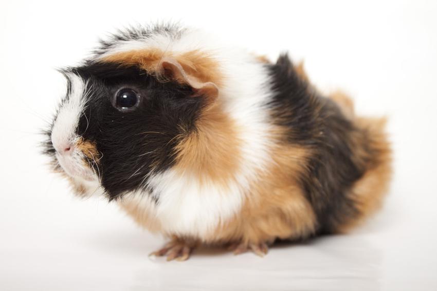 Świnka morska czy też kawia domowa na białym tle, a także informacje o śwince morskiej hodowanej w domu