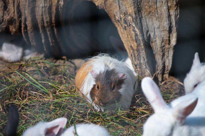 Świnka morska skinny na sianku, a także co warto wiedzieć o śwince morskiej bez sierści i bez włosów
