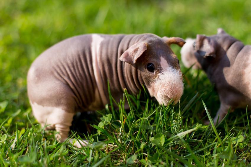 Świnka morska skinny na trawniku, a także jej usposobienie i charakter świnki morskiej bez włosów