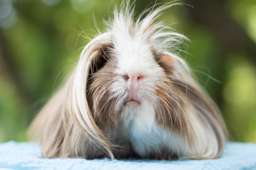 Długowłosa świnka morska peruwianka, a także jej wygląd, opis, charakter i hodowla w domu