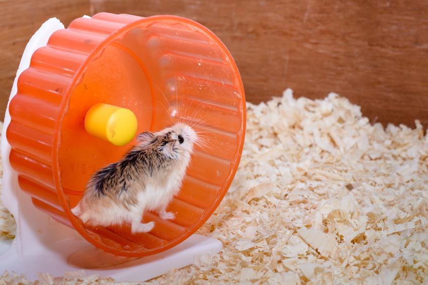 Chomik bawiący się w pomarańczowym kole na trocinach, a także polecane zabawki dla chomika