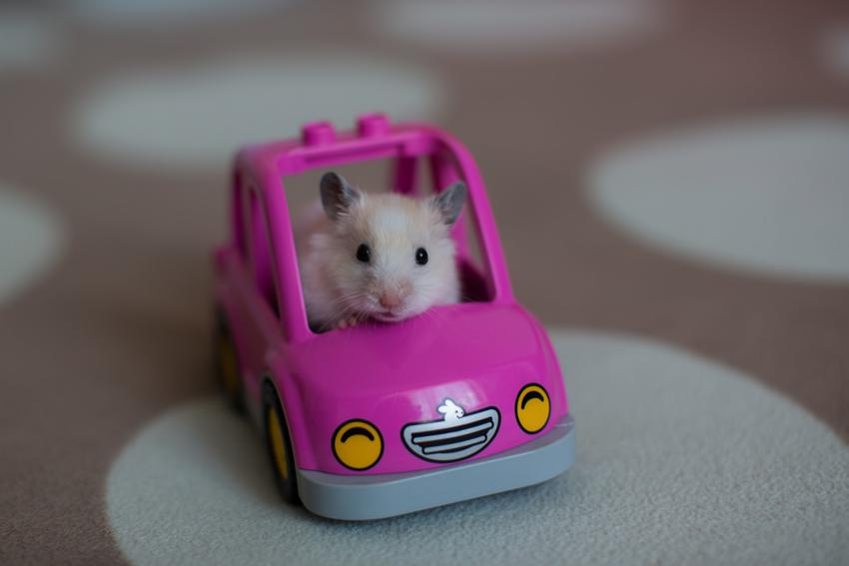 Mały chomik siedzący w różowym samochodziku zabawkowym, a także polecane zabawki dla chomika, w tym zabawki drewniane