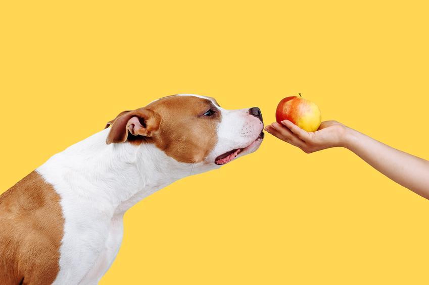 Pies wąchający jabłko, a także porady jak odchudzić psa i dieta odchudzająca dla psa