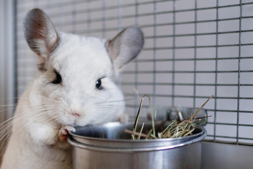 Szynszyl biały czy też szynszyla biała przy pojemniku z siankiem w klatce, a także jej hodowla