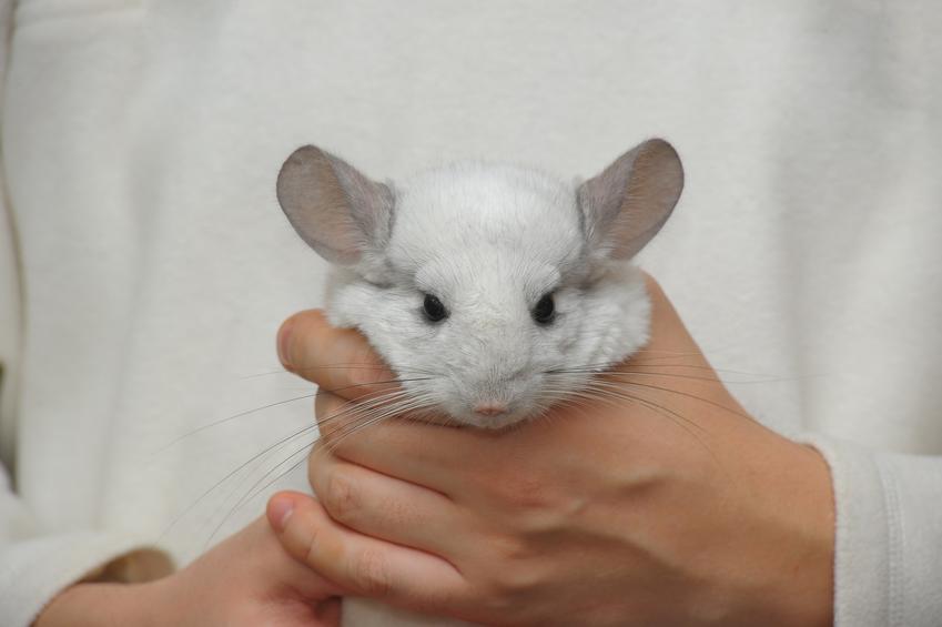 Szynszyl biały czy też szynszyla biała trzymana przez właściciela w dłoniach, a także jej hodowla