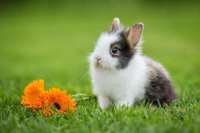 Królik miniaturka siedzący na trawie obok kwiatka, a także królik karzełek i króliki miniaturki