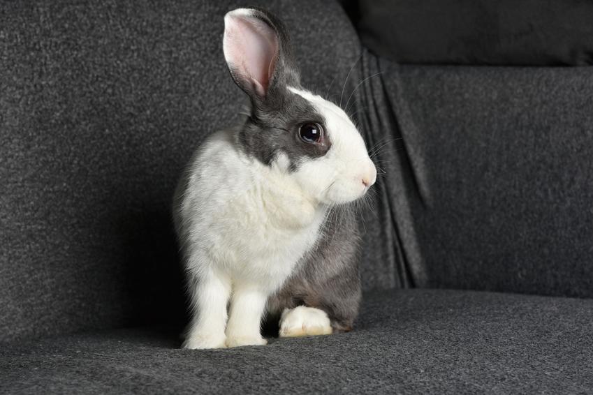 Królik domowy siedzący na sofie, a także królik karzełek i króliki miniaturki