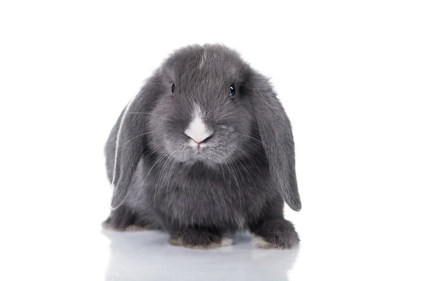 Szary królik teddy na białym tle, a także jego opis, usposobienie i charakter