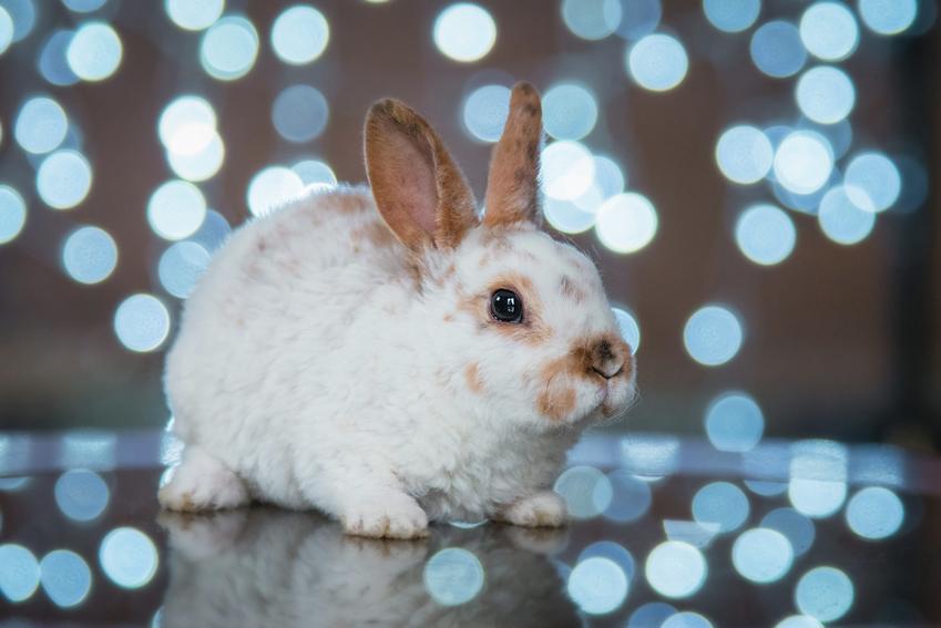 Królik karzełek na podłodze w otoczeniu girlandy niebieskich świateł, a także ile żyje królik miniaturka