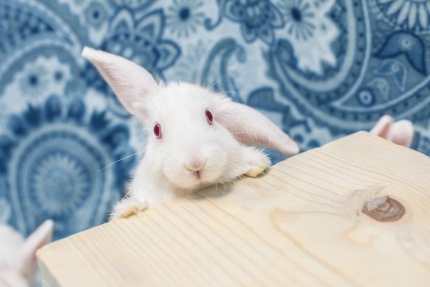 Biały królik karzełek wdrapujący się na drewniany stół, a także ile żyje królik miniaturka