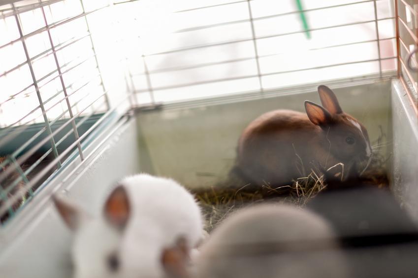 Króliczki miniaturki hodowane w klatce, a także porady, jaka hodowla królików miniaturek jest najlepsza