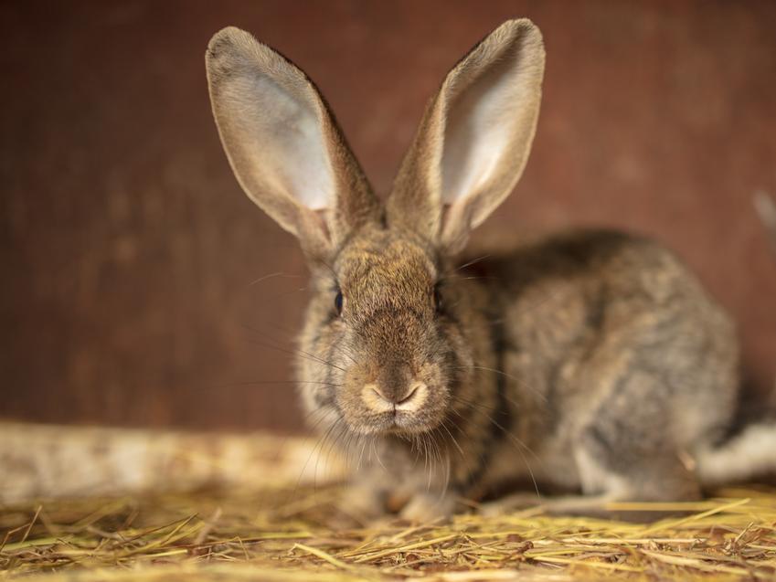Królik olbrzym z dułymi uszami na sianie i brązowym tle, a także króliki belgijskie