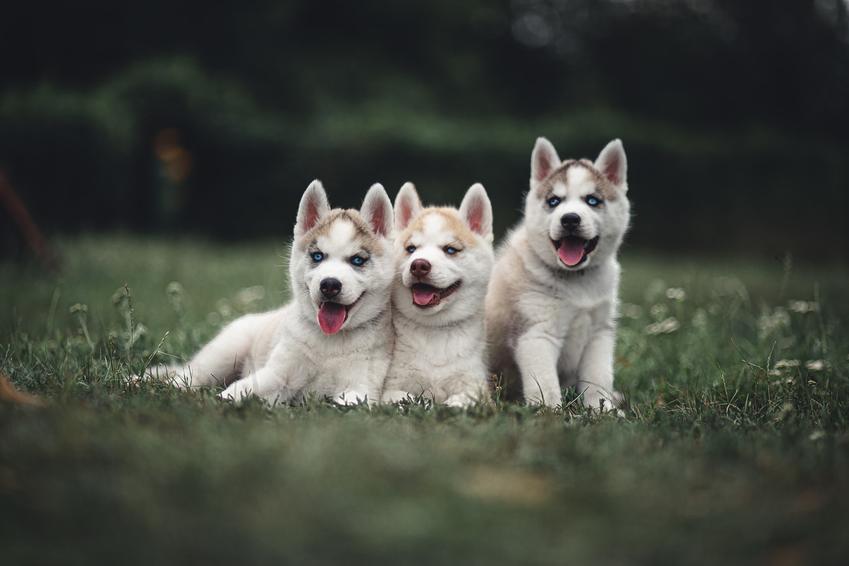 Trzy małe psy rasy husky syberyjski siedzące na trawie na tle zieleni, a także cena husky