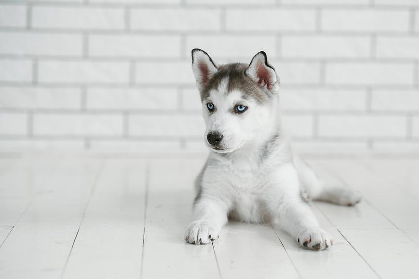 Szczeniak psa rasy husky siedzący na podłodze, a także jaka jest cena husky