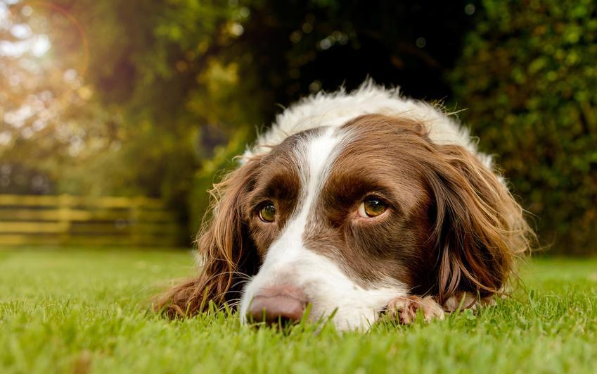 Pies rasy springer spaniel walijski leżący na trawie, a także jego charakter i hodowla oraz cena