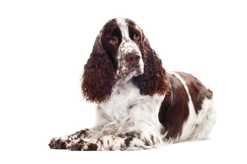 Pies rasy springer spaniel walijski na białym tle, a także jego charakter i hodowla