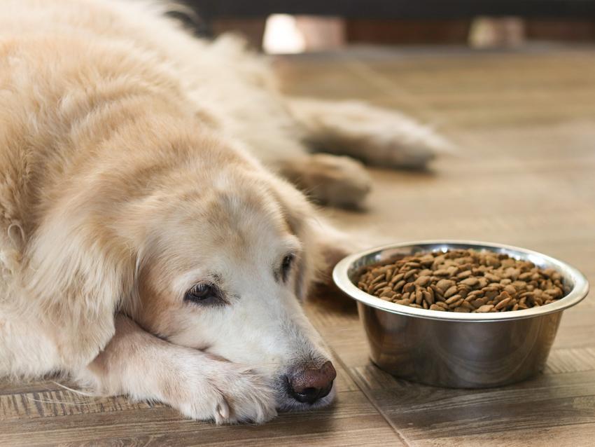 Chory pies leżący przy misce z jedzeniem, a także rozwolnienie u psa i biegunka