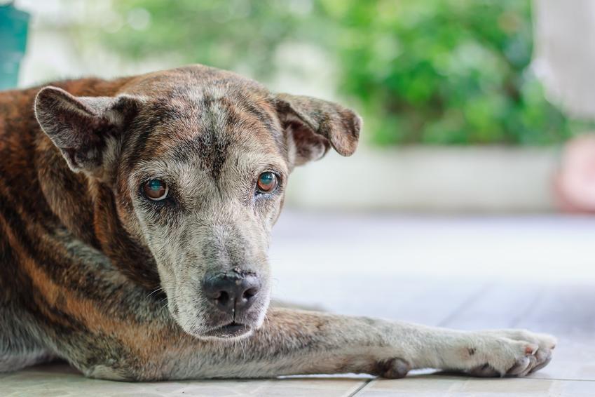 Pies leżący na podłodze, a także zatwardzenie u psa i zaparcia