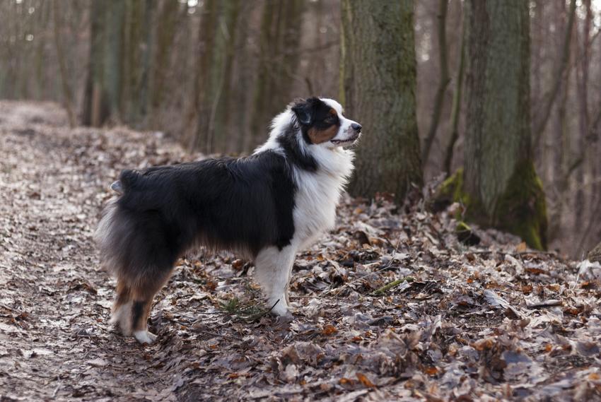 Pies rasy owczarek australijski podczas spaceru w lesie, a także charakter rasy