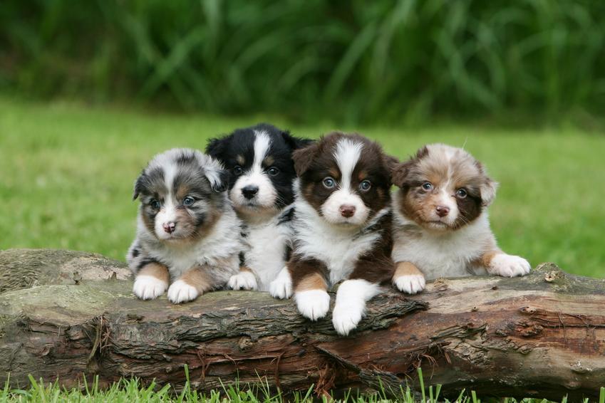 Cztery małe szczeniaki owczarka australijskiego na tle zieleni, a także cena owczarka australijskiego