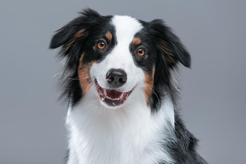 Pies rasy owczarek australijski na szarym tle, a także cena owczarka australijskiego