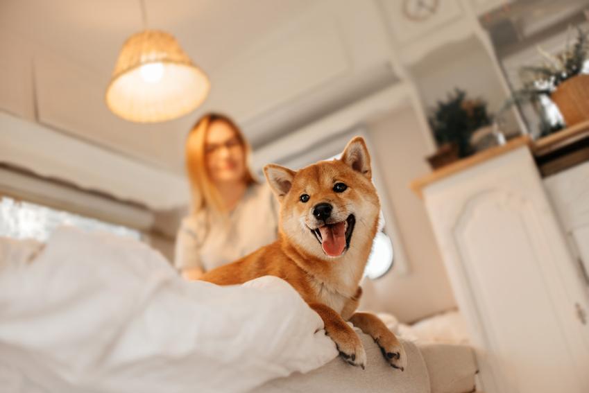 Pies rasy shiba inu w łóżku oraz właścicielka w tle, a także charter i cena rasy