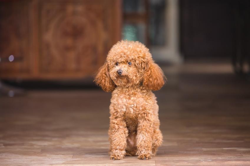 Pies rasy pudel miniaturka stojący na podłodze w domu, a także charakter i hodowla