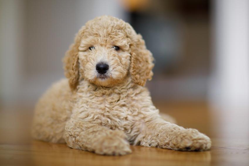 Pies rasy pudel miniaturowy leżący na podłodze w domu, a także charakter i cena