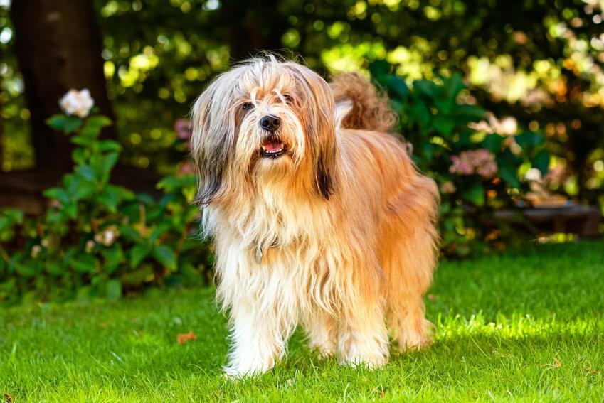 Pies rasy terier tybetański stojący na trawniku, a także opis i charakter rasy