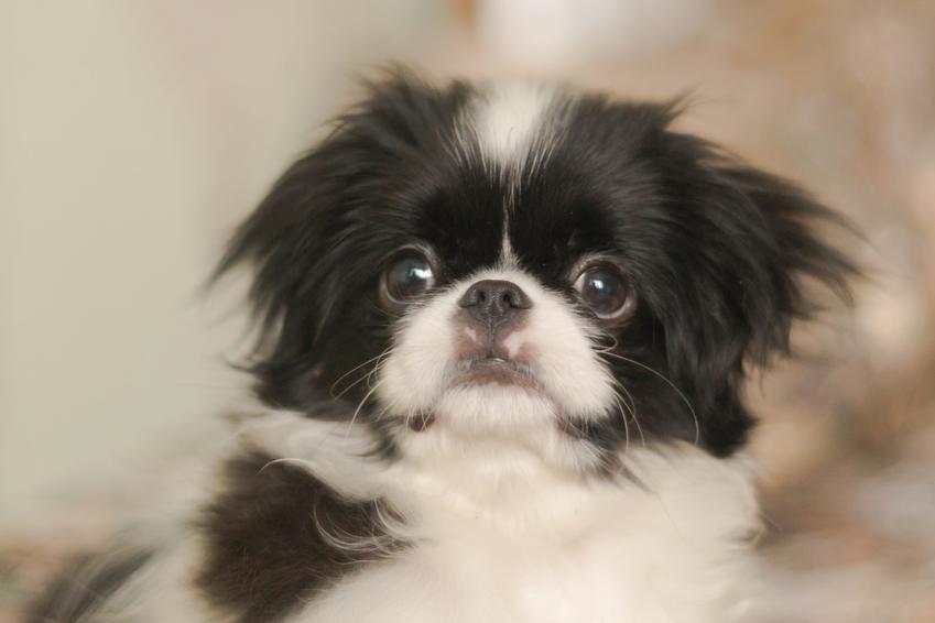 Pies Chin japoński i inne polecane rasy psów z włosami zamiast sierści