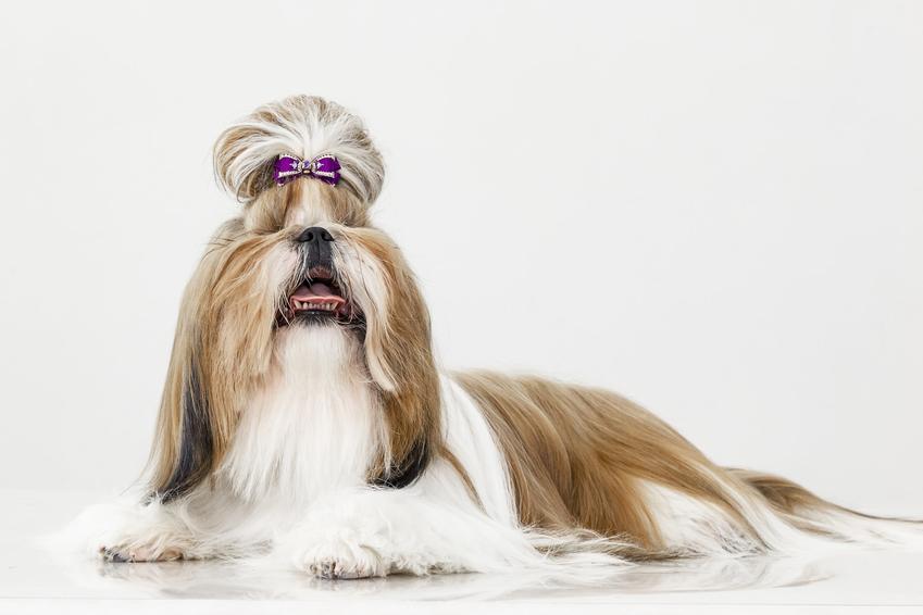 Pies z włosami oraz informacje, jakie psy mają włosy zamiast sierści