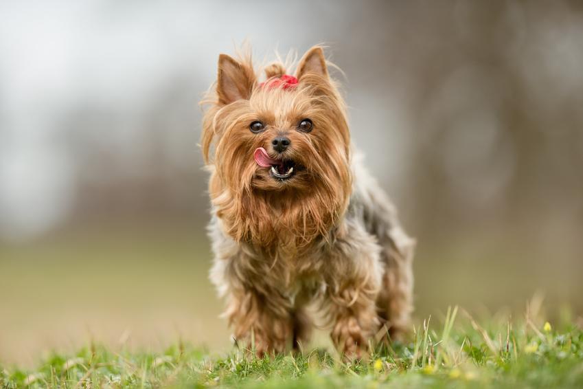 Yorkshiere Terrier na trawie oraz informacje, jakie psy mają włosy zamiast sierści