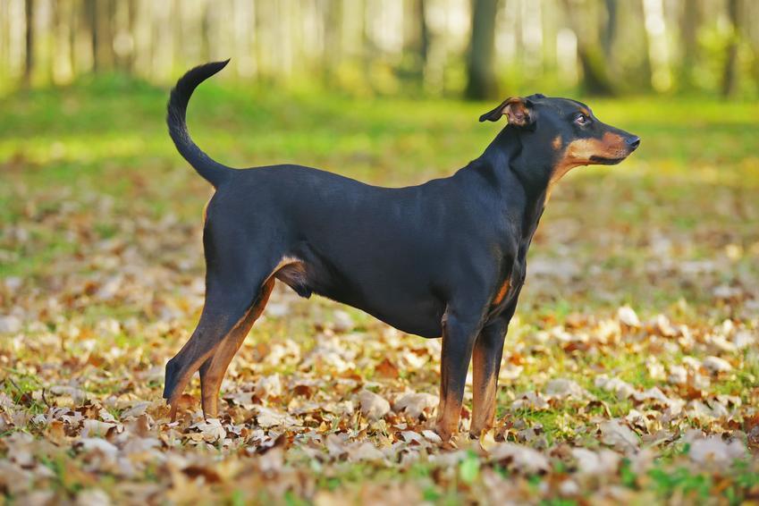 Pies rasy pinczer niemiecki na tle zieleni podczas spaceru oraz jego charater i usposobienie